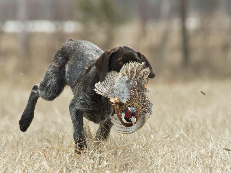 Jagd-Hund mit einem Fasan lizenzfreie stockbilder