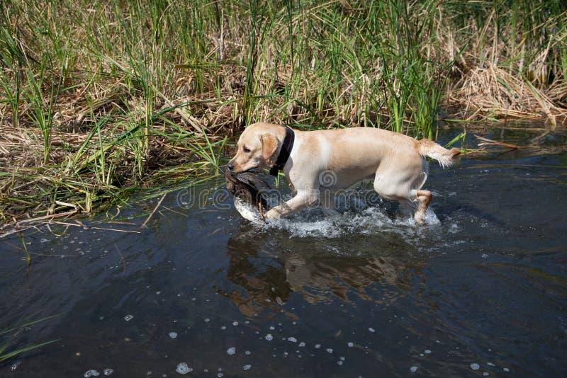 Jagd Labrador mit Entevogel stockfotografie