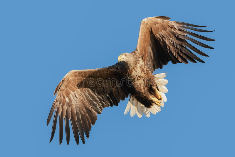 Jagd-Meer Eagle lizenzfreie stockfotos