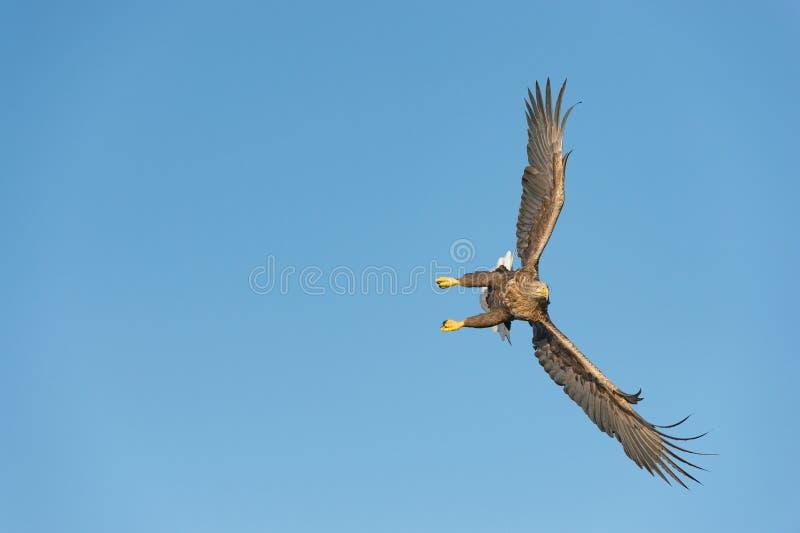 Jagd-Meer Eagle stockbilder