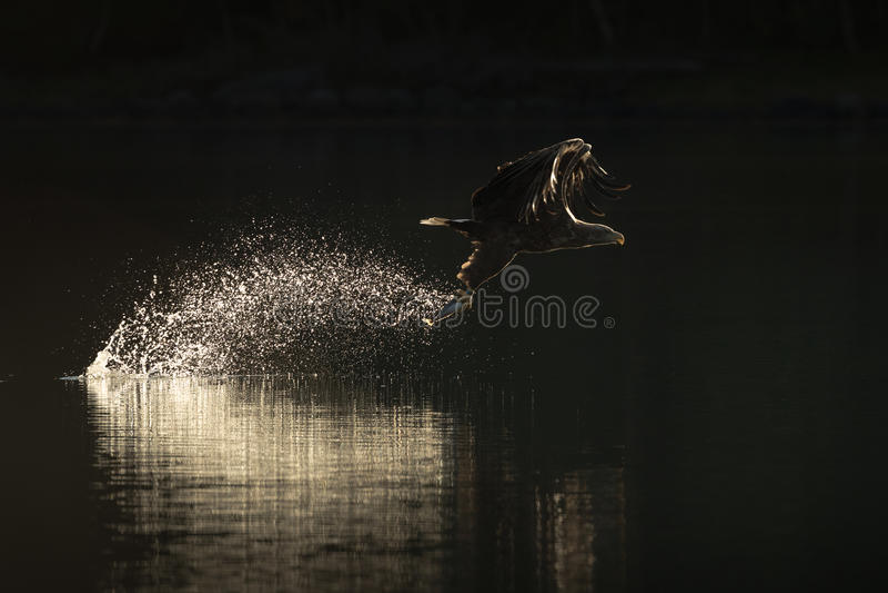 Jagd-Meer Eagle lizenzfreie stockfotografie