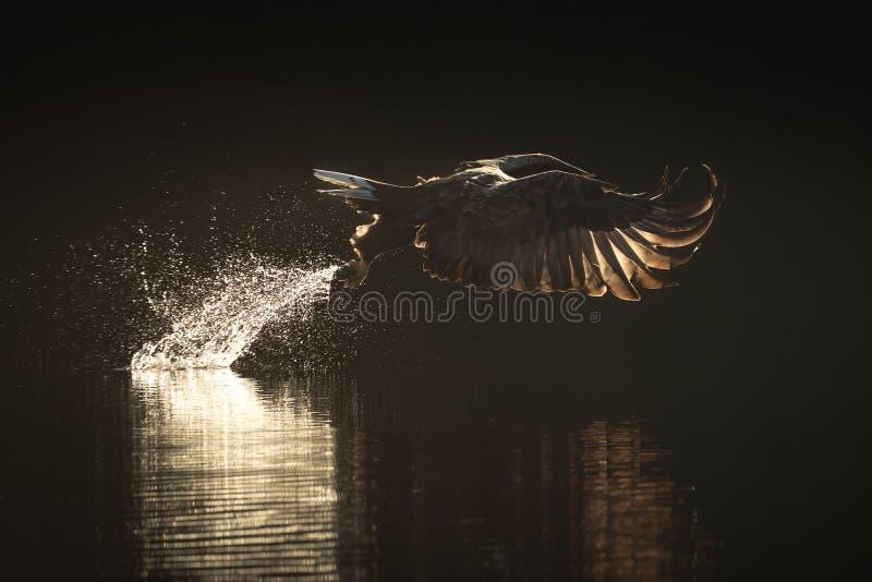 Jagd-Meer Eagle lizenzfreie stockbilder