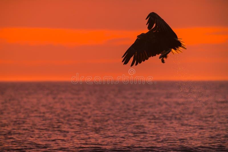 Jagd-Meer Eagle lizenzfreies stockbild