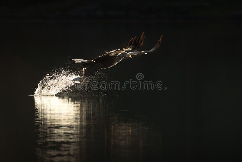 Jagd-Meer Eagle lizenzfreies stockfoto
