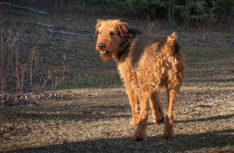 Jagd von Airdale Terrier stockbilder