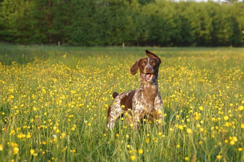 Jagdhund auf einem Feld mit den gelben Blumen bereit zum Spielen lizenzfreie stockfotografie