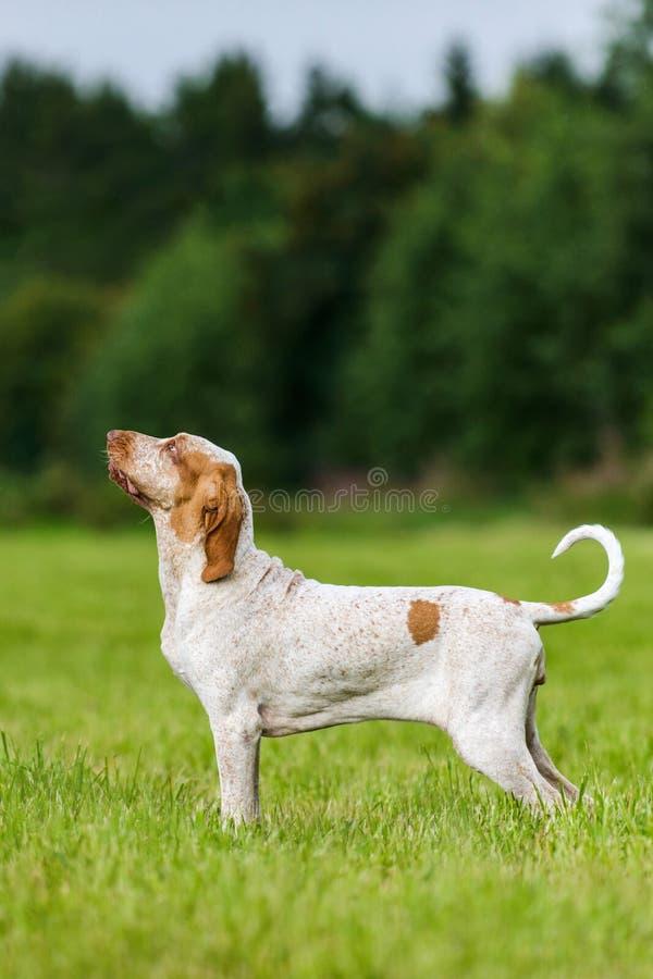 Jagdhund Bracco Italiano, der auf dem Gebiet steht stockbilder