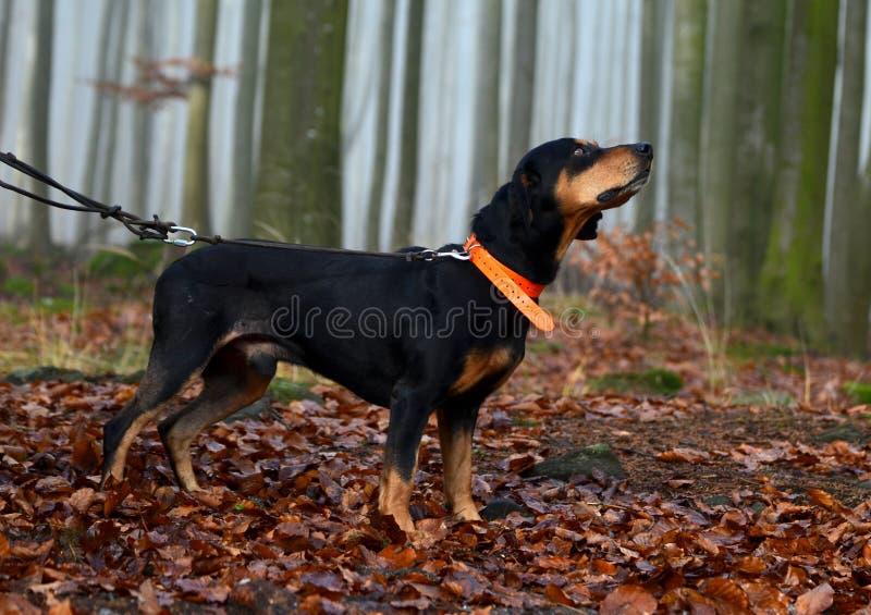 Jagdhund im nebeligen Wald lizenzfreies stockfoto