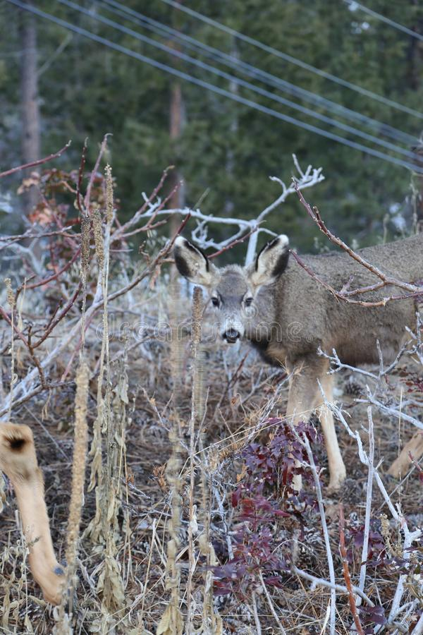 Jagdjahreszeit Rotwild- und Elchthemen sind für die Jagd oder Wildnisanschlagtafeln oder -zeitschriften populär stockfotos