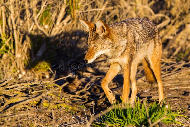 Jagende Coyote stock afbeelding
