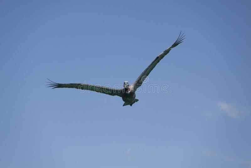 Jagende pelikaan royalty-vrije stock afbeeldingen