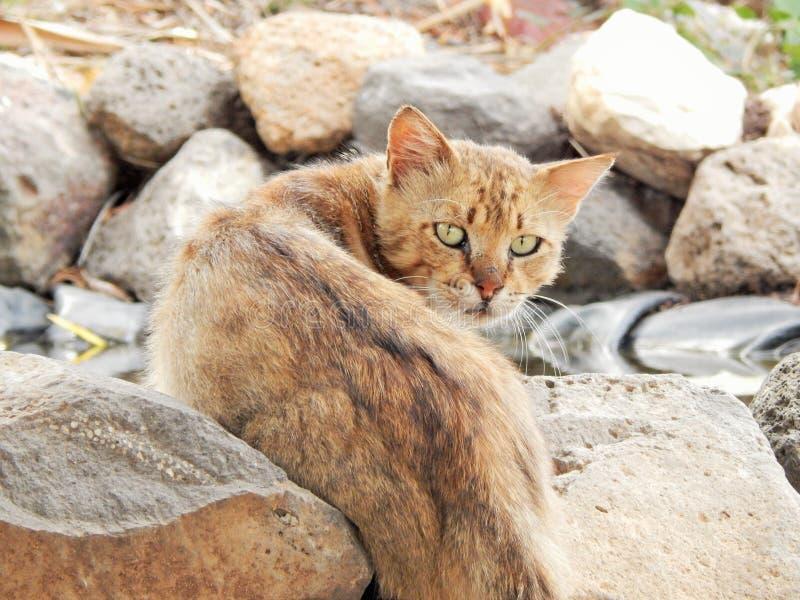 Jager de wilde woestijnkat royalty-vrije stock foto
