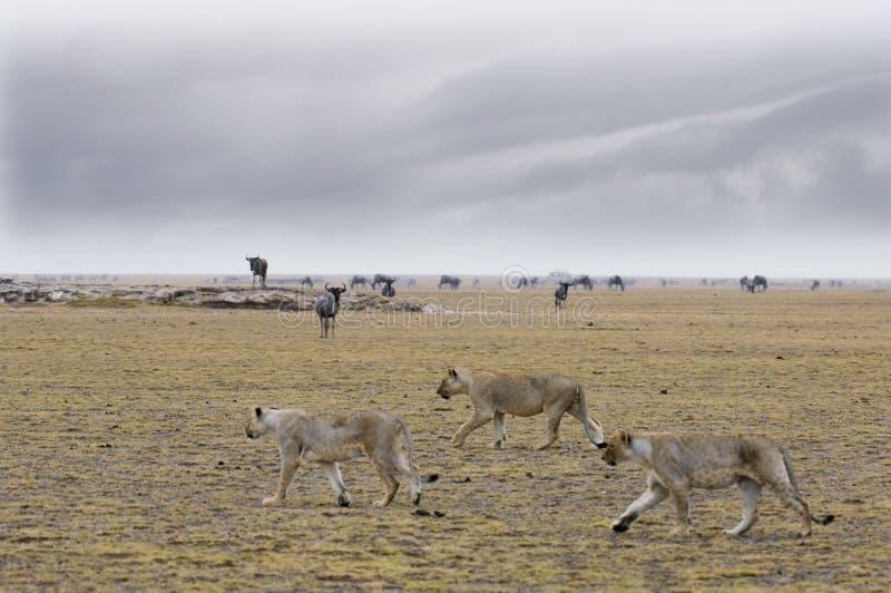 Jagers (Leeuw Panthera) royalty-vrije stock foto