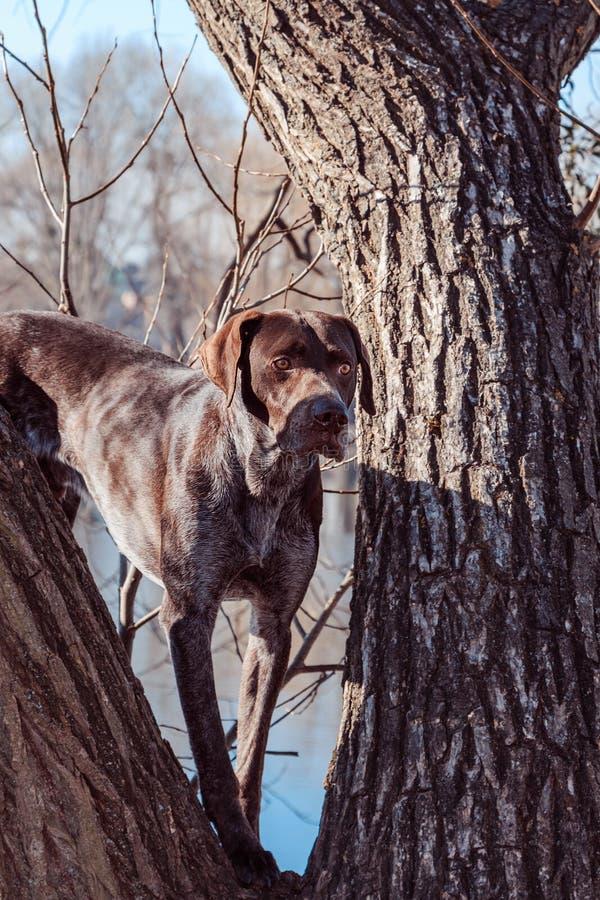 Jagershond stock afbeeldingen