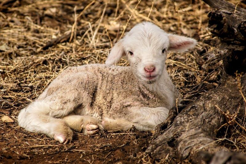 Jagnięcy odpoczywać na trawie obraz royalty free