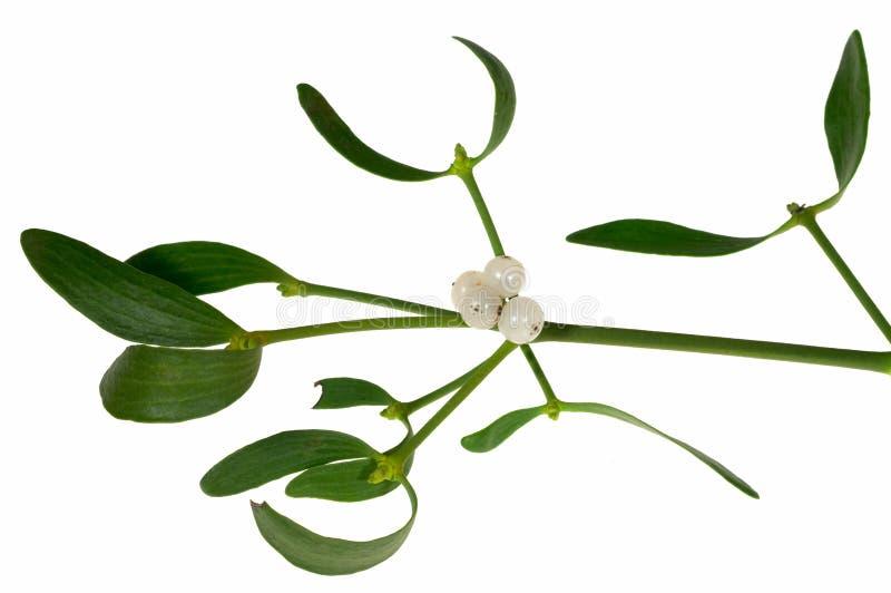 jagod liść jemioły sprig fotografia stock