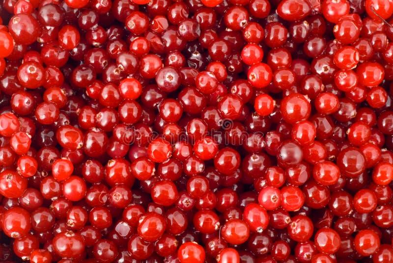 jagodowy cranberry fotografia stock