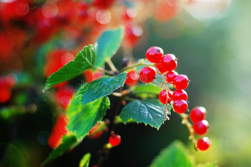 Jagody czerwoni rodzynki r w ogródzie w słońca świeceniu zdjęcia royalty free