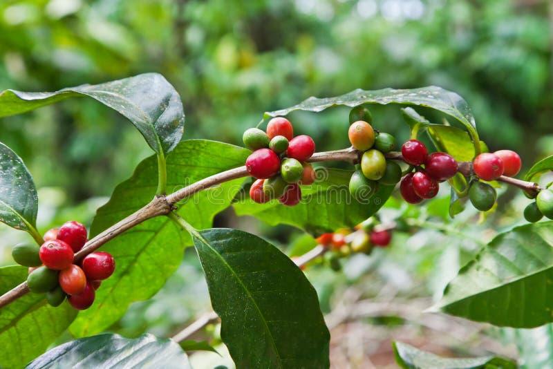 jagody drzewo kawowy dojrzały obraz stock