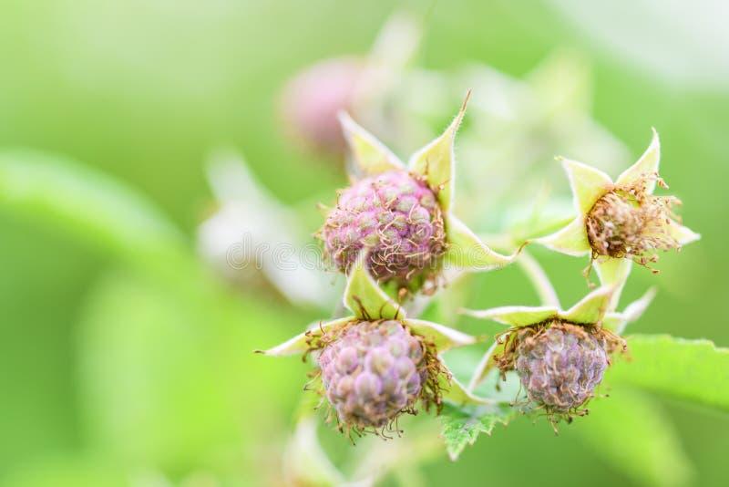 Jagody niedojrzałe malinki w ogródzie zdjęcie royalty free