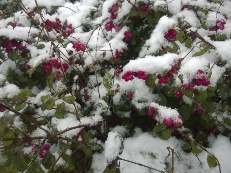 Jagody pod śniegiem obrazy royalty free