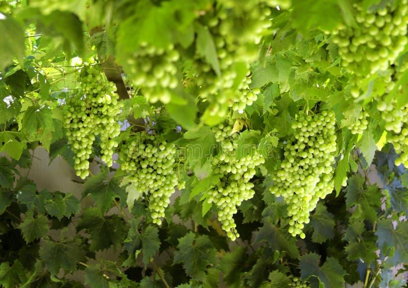 Jagody zieleni winogrona na prąciu rozgałęziają się w ogródzie zdjęcia royalty free