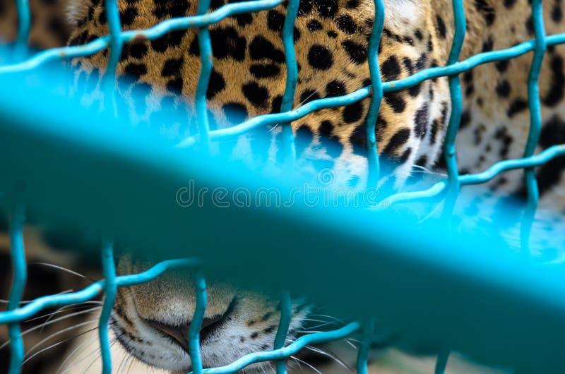 Jaguar é encontro jogado para baixo para não aterrar o quadro próximo fotografia de stock royalty free