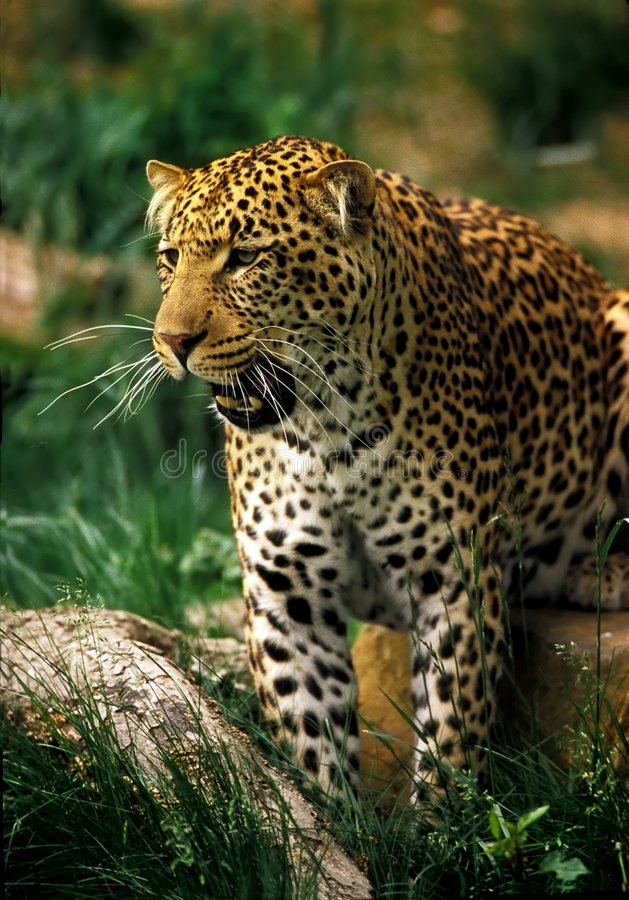 Jaguar. A jaguar with mouth op[n stands near a rock