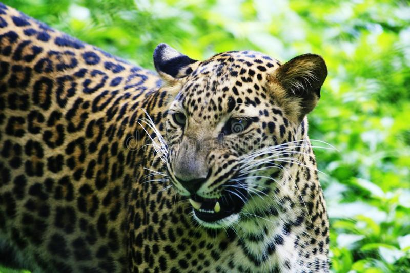 Download Jaguar stock photo. Image of angry, spotted, attack, feline - 11957788