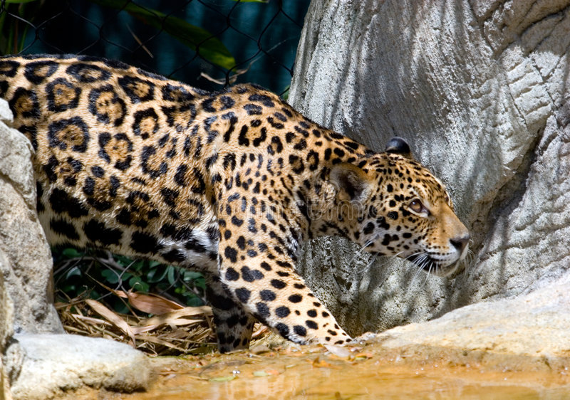 Jaguar 12 royalty free stock images