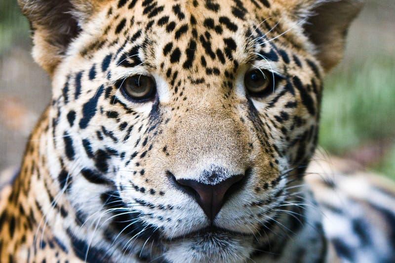 Download Jaguar stock photo. Image of young, animal, tiger, hunt - 12792926