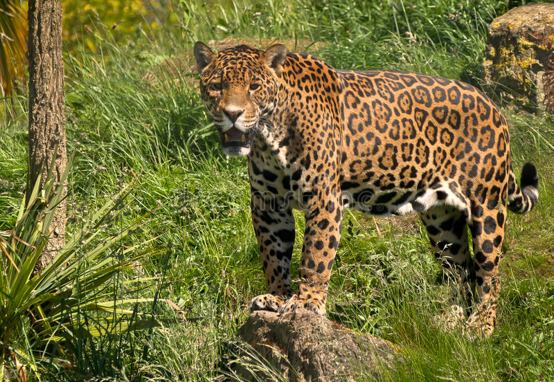 Jaguar. A jaguar standing on a rock royalty free stock image