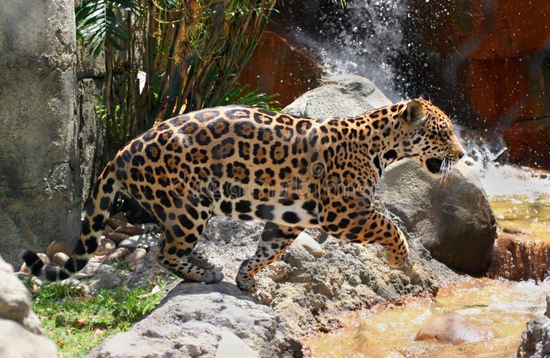 Jaguar 17 stock images