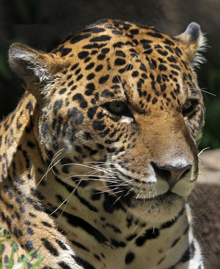 Jaguar fotos de stock