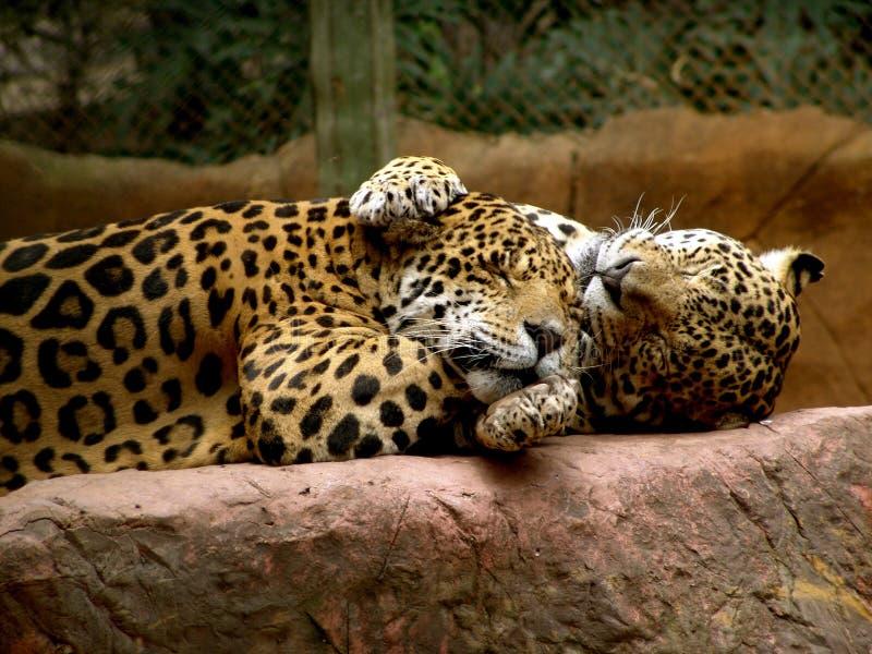 Jaguar lizenzfreies stockfoto