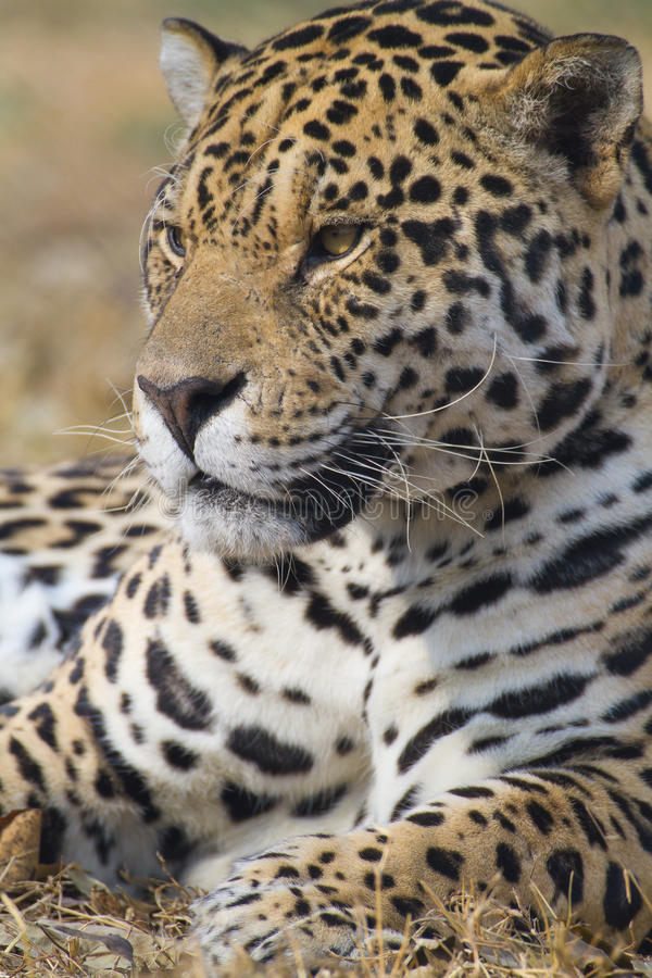 Jaguar royalty free stock images