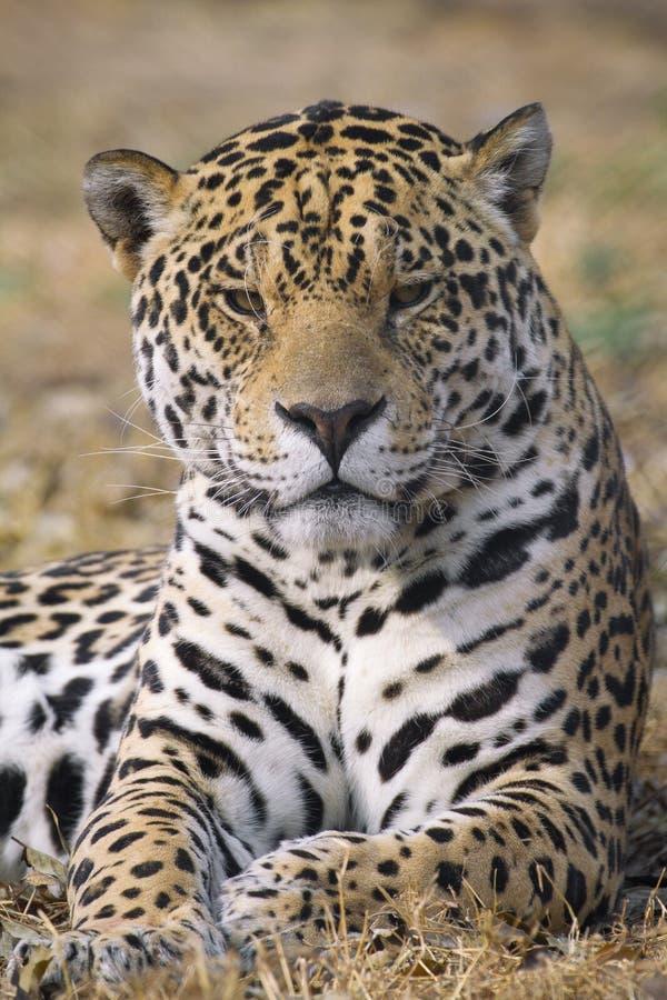 Free Jaguar Stock Images - 22353584