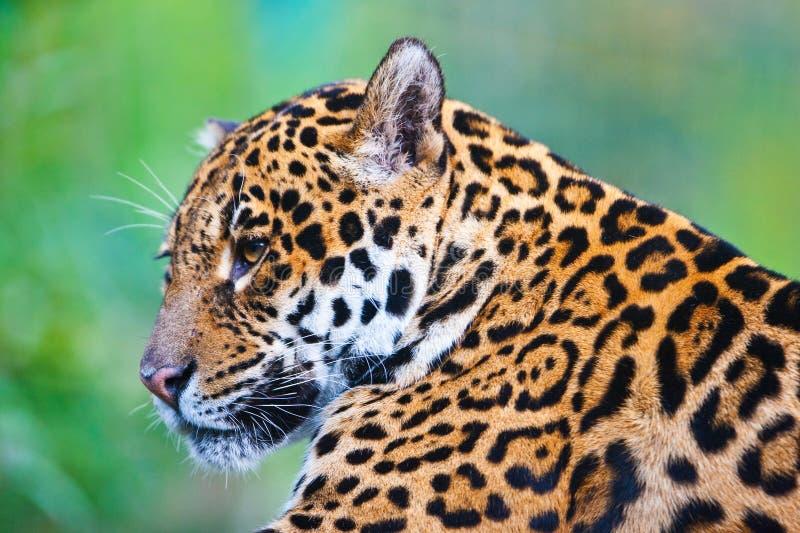 Download Jaguar stock image. Image of jaguar, colorful, portrait - 22425667