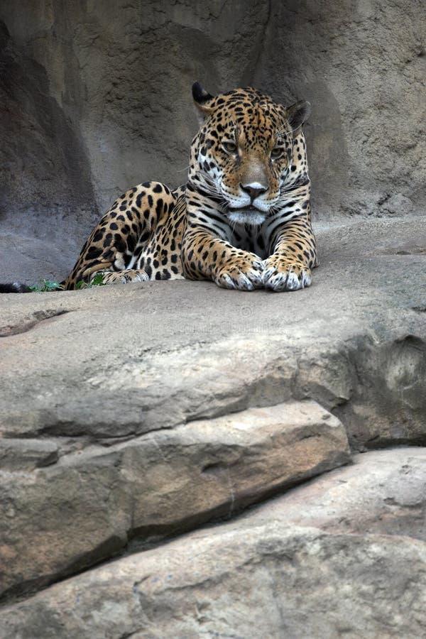 Jaguar fotografia de stock royalty free