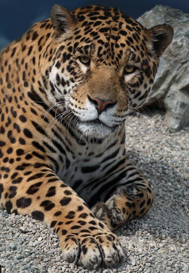 Jaguar photos libres de droits
