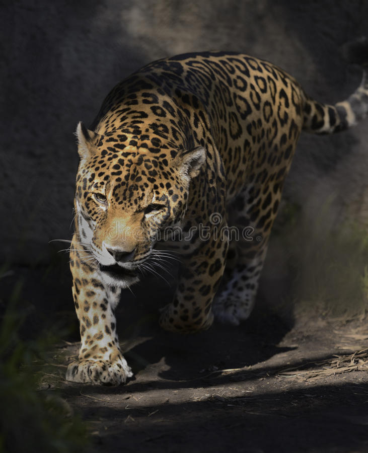 Download Jaguar stock image. Image of stalking, outdoors, feline - 28475003