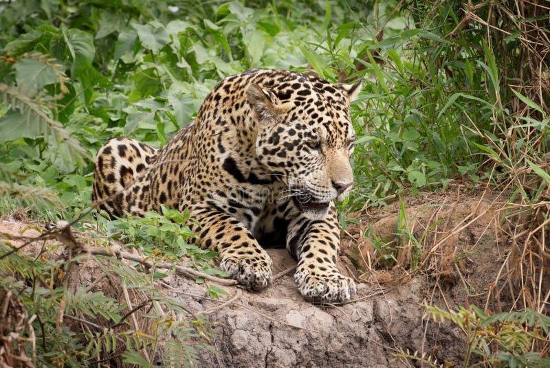 Jaguar stock foto