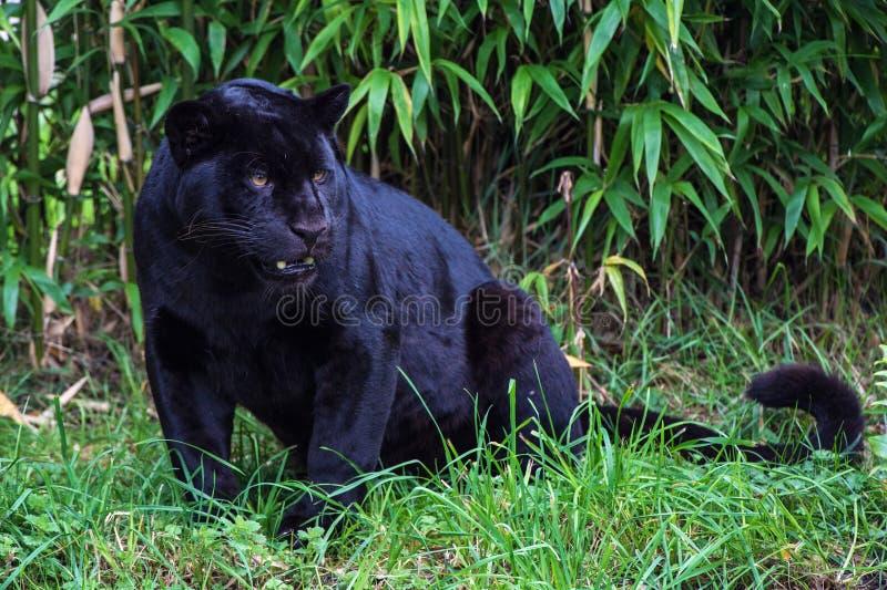 Jaguar obraz stock