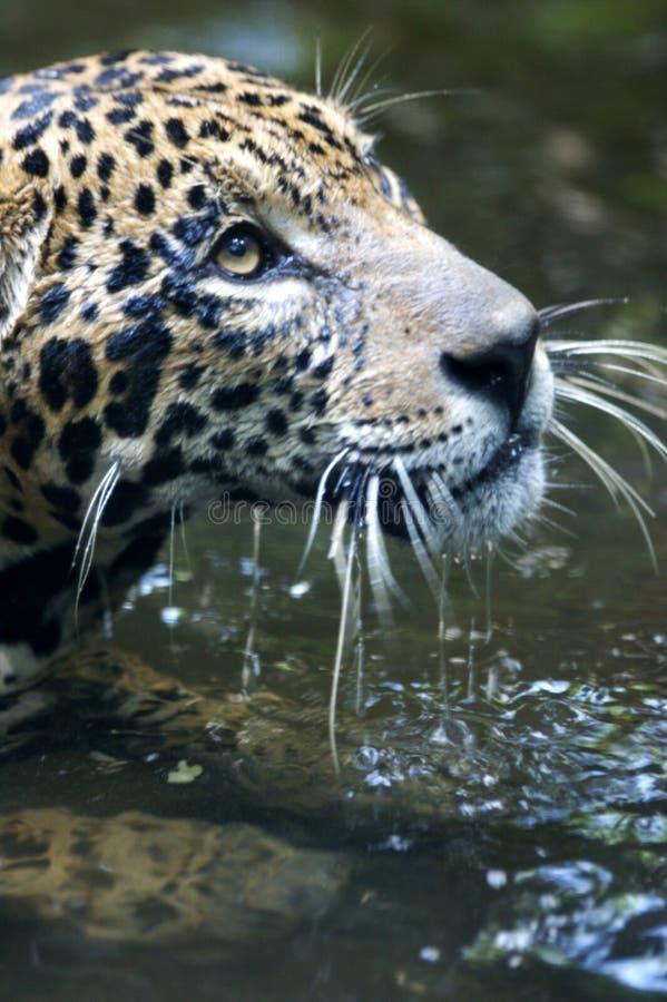 Download Jaguar stock photo. Image of wildlife, jaguars, wildcats - 3746756