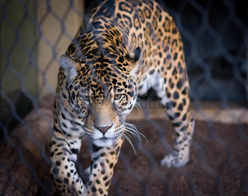 jaguar photo stock