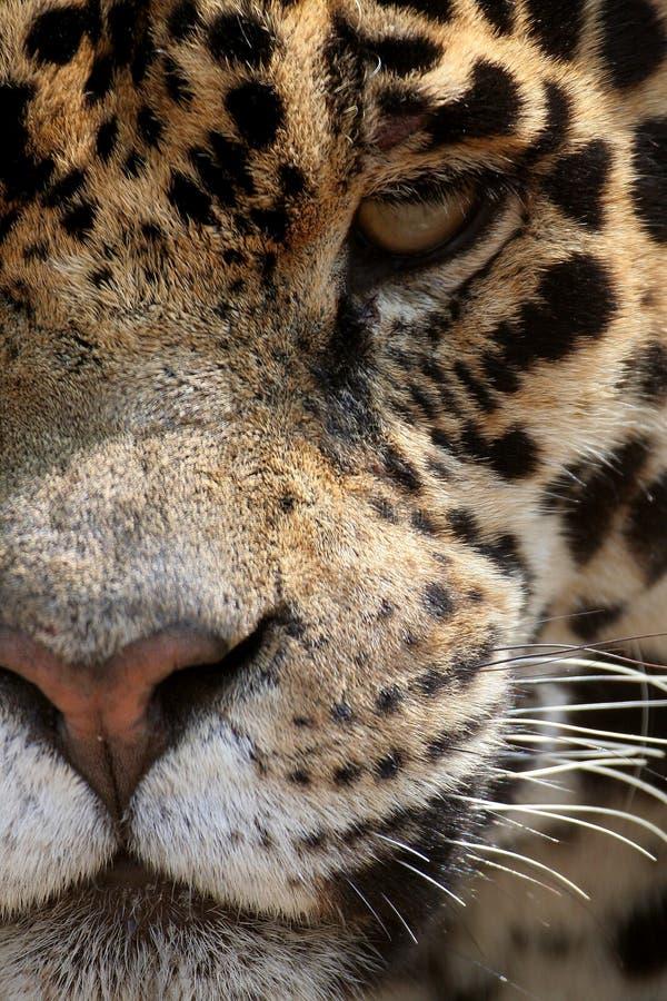 Jaguar photo libre de droits