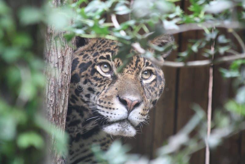 jaguar imágenes de archivo libres de regalías