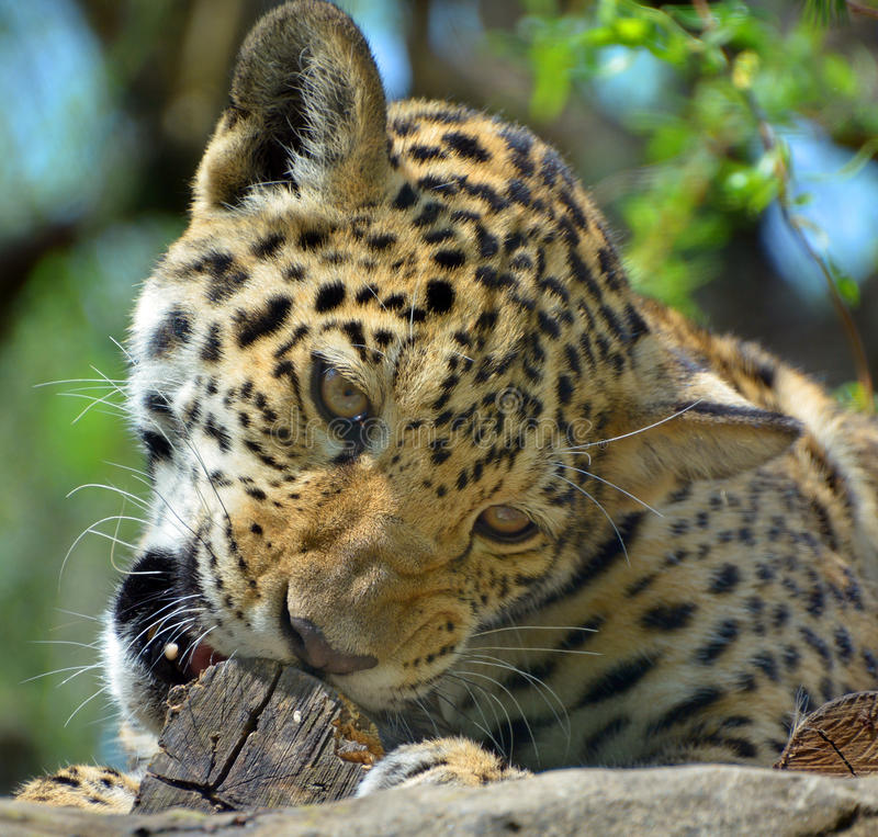 jaguar immagini stock libere da diritti