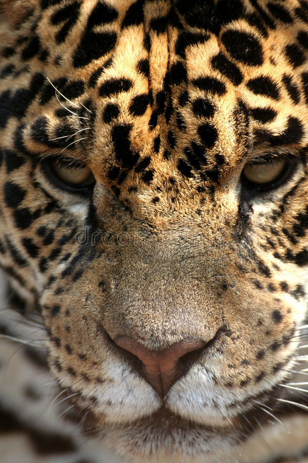 Download Jaguar stock photo. Image of male, female, species, face - 7375330