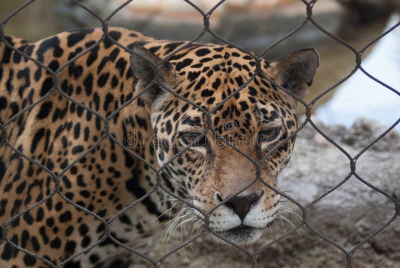 jaguar lizenzfreie stockfotografie